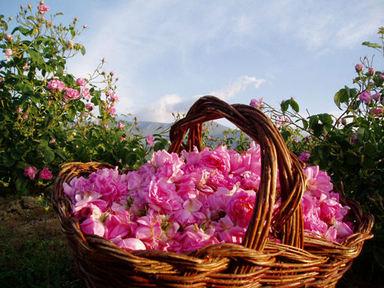 Damask_rose_2