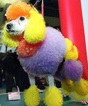 5209_2605_rainbow-poodle