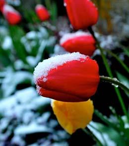 Seattle_SnowTulip_041808-ByJeanSherrard
